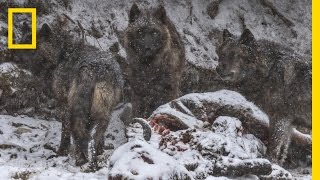 A Man Among Wolves  Photographing Yellowstone's Iconic Predator | National Geographic