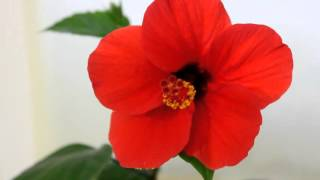 Гибискус - китайская роза.(Уход и размножение в домашних условиях. Здравствуйте! Меня зовут Надежда, и на этом канале я буду делиться..., 2016-03-18T16:47:46.000Z)