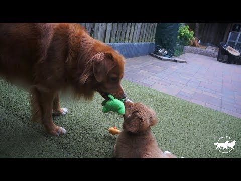 Adult Toller teaches Puppy about Sharing is Caring