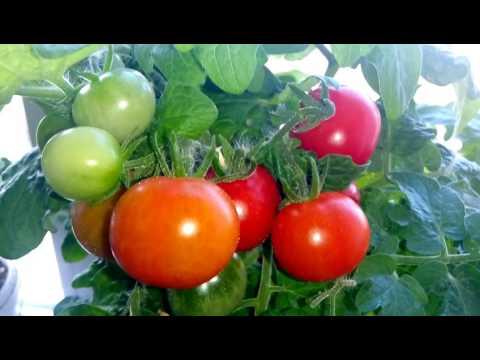 Огород на окне / собираем  урожай томатов