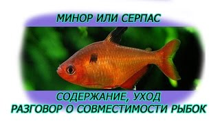 Минор или серпас  Содержание, уход, кормление, разговор о совместимости рыбок  Литраж аквариума