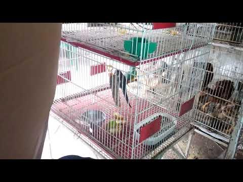 feira-de-aves-mercado-central-em-são-luís-ma
