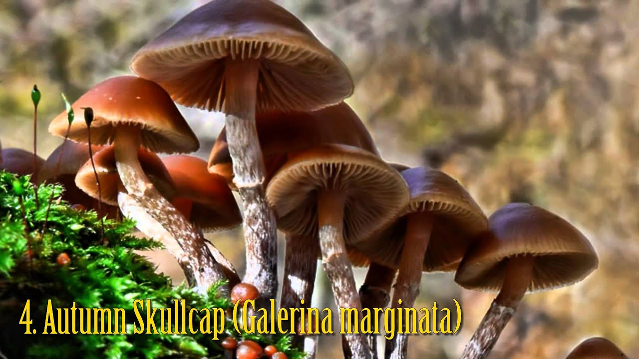 top10 most poisonous mushrooms youtube