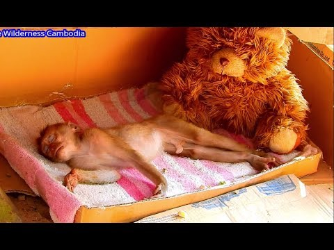 Adorable Orphan Monkey Axel Happy With New Clean Bed | Sweet Dream Baby.