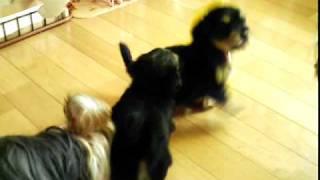 ヨークシャーテリアのママと、ヨーチーのパパ そして子犬2匹の合計4匹...