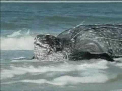 SNN: Leatherback Turtle