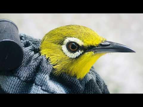 Tiếng khuyên vàng. Tiếng chim mồi khuyên vàng. Khuyên vàng miền tây   Foci