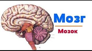 Видео-урок по анатомии. Мозг / Мозок