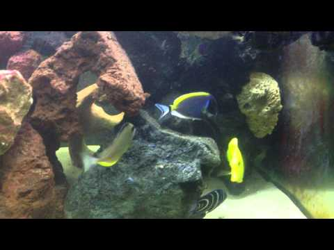 Powder Blue Tang Care Level Easy?