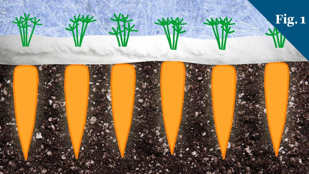 why carrots taste sweeter in winter youtube