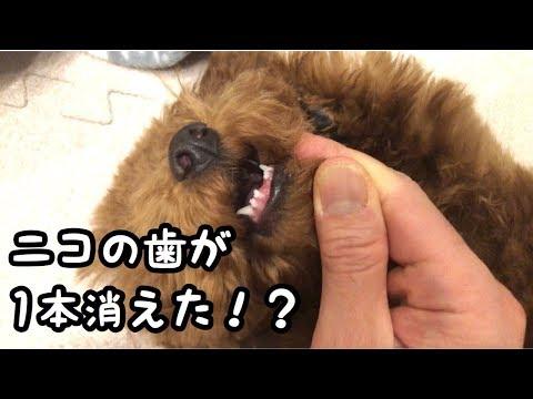 トイプードル子犬の歯が!どこいった!?