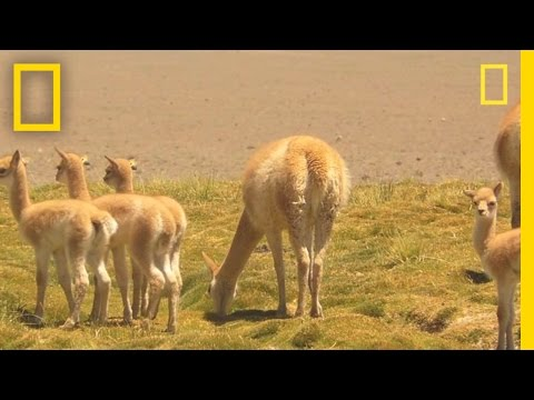 Researchers Race to Witness Vicuña Birth | National Geographic