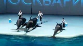 Водное шоу. Белухи, дельфины, моржи, касатки, синхронистки