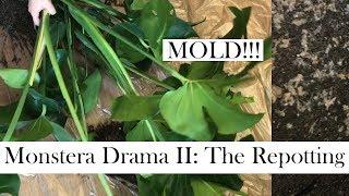 Monstera Deliciosa Drama II: THE REPOTTING