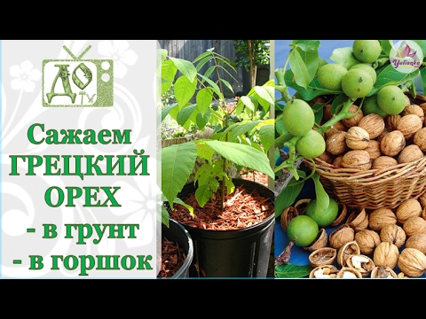 Листья грецкого ореха – применение