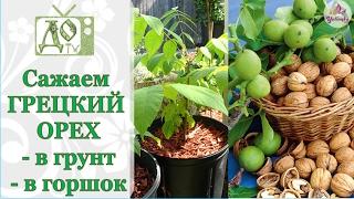 видео Грецкий орех в Подмосковье, выращивание