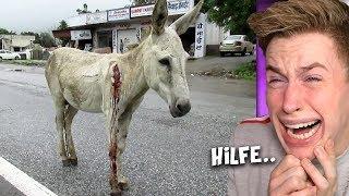 ΒLUTΕNDER Esel mit großer Wսոde wird von Straße GΕRΕΤΤET..