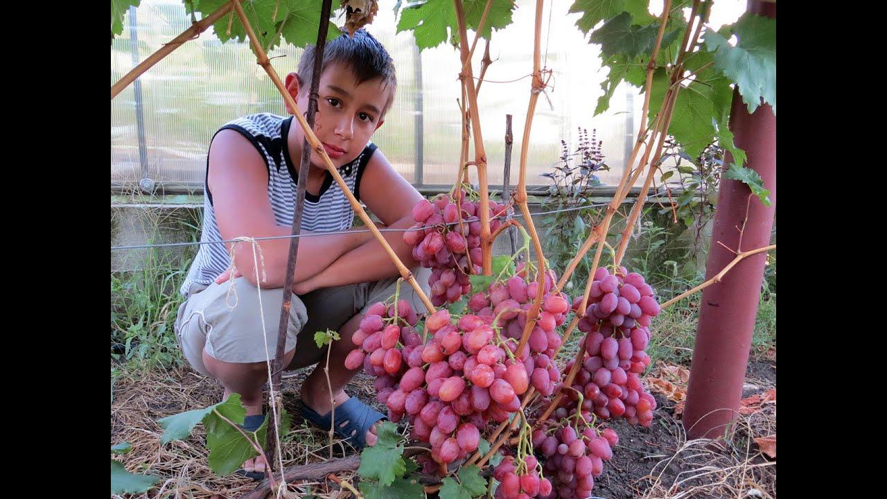 Посадка винограда с дренажем-(проверена временем)