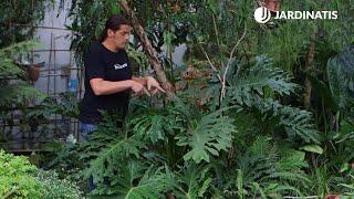 Filodendro o Philodendron características y reproducción - Bricomanía