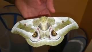 Разведение бабочек в домашних (лабораторных) условиях