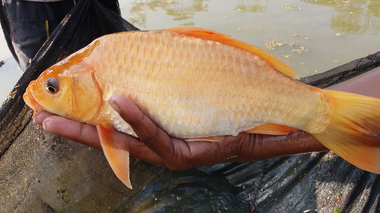 how to eat carp fish