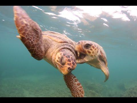 In-water Behaviour Of The Loggerhead Sea Turtle