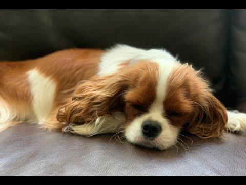 #1 Reason why everyone should have a Cavalier King Charles Spaniel   Cuddling a Sleepy Puppy