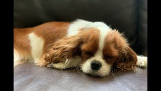 #1 Reason why everyone should have a Cavalier King Charles Spaniel | Cuddling a Sleepy Puppy