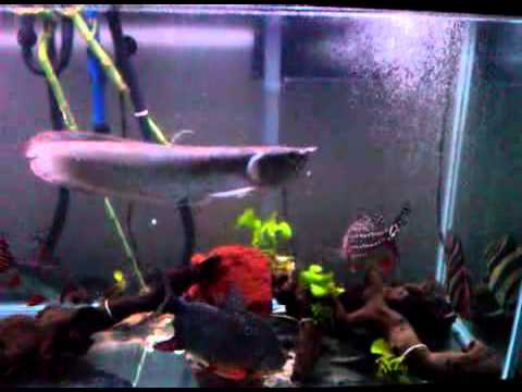 Feeding monster fish tank arowana datnoid peacock bass for Bass fish tank