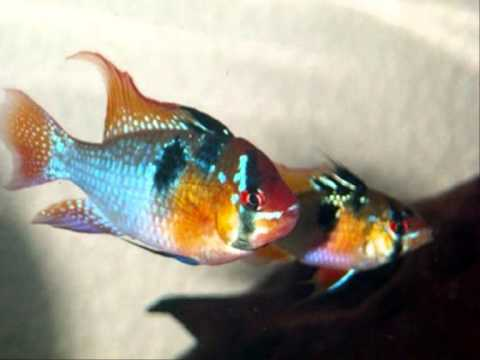 Fish Profiles Butterfly German Blue Ram Cichlid Youtube