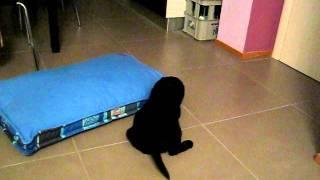 cucciola di labrador prima notte insonne