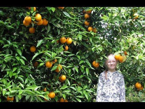 Поездка в цитрусовые сады. Где взять черенки хорошего лимона