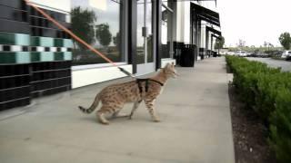 Pet World Insider   Savannah Cat Shoppe  Sneak Peek