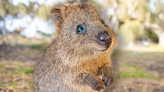 Baby Quokkas are the Cutest Animals in the World [PART 1]  Best Compilation
