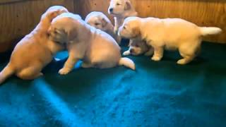 My Cute Mixed Color Different Breed Golden Retriever Puppies For Sale In Italy