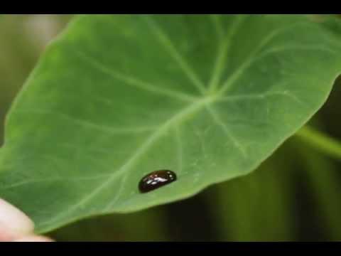 Taro - Colocasia esculenta - Honey Swept up