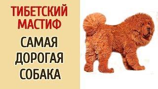 ТИБЕТСКИЙ МАСТИФ - САМАЯ ДОРОГАЯ СОБАКА.