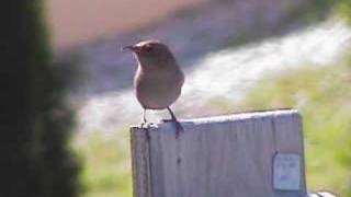 House Wren Sings the song of the day