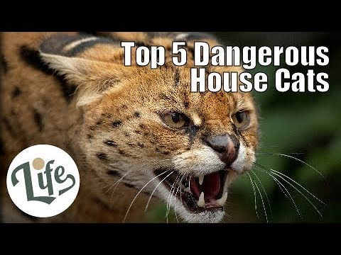 Top 5 Dangerous House Cats With Wild Heritages