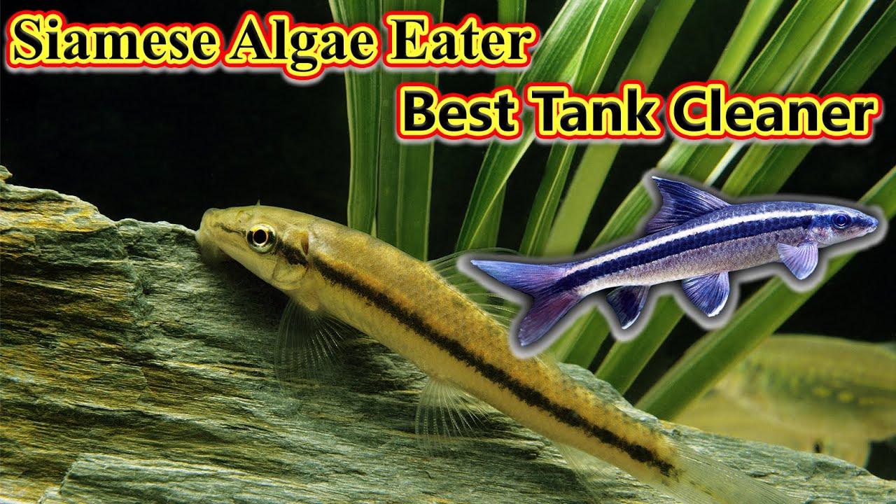 Siamese Algae Eater Fish உங்கள் Tank  சுத்தம் செய்ய ஒரு நல்ல மீன் வேணுமா? Best / Fish Aquarium Tamil
