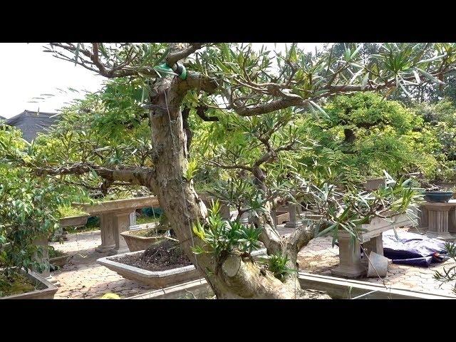 Tham khảo giá những cây đẹp nhất vườn - Price of the most beautiful bonsai trees