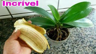 Faça sua Orquídea Brilhar Usando Casca de Banana