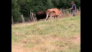 Gympie - Australian Cattle Dog Herding Cows - Bouvier Australien Sur Vaches