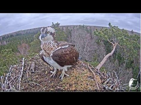LDF Zivjērglis tiešraide / Osprey webcam in Latvia