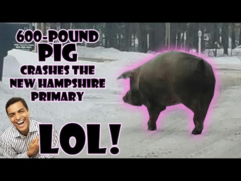 600-pound pig CRASHES the New Hampshire primary