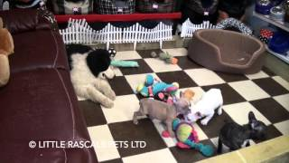 Little Rascals Uk Breeders New Litter Of French Bulldogs - Puppies For Sale 2016