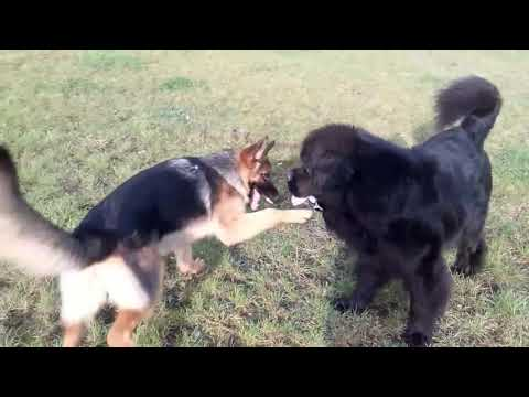 My newfie playing with german shepherd