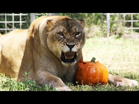 It's A Big Cat HALLOWEEN!!