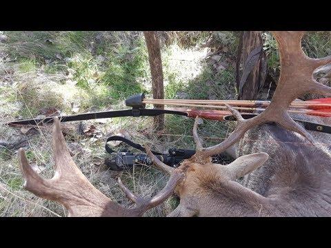 Longbow hunt Fallow Deer