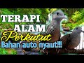 Terapi Suara Alam Perkutut Lokal Auto Nyautin  Mp3 - Mp4 Download